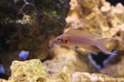 Neolamprologus pulcher - фото